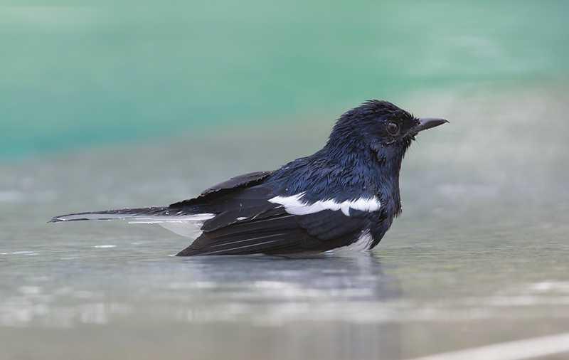 5 Manfaat Terapi Mandi Air Garam Untuk Burung Kacer