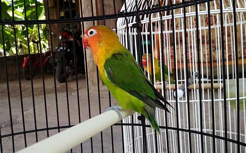 Persiapan Lovebird Lomba (youtube.com)