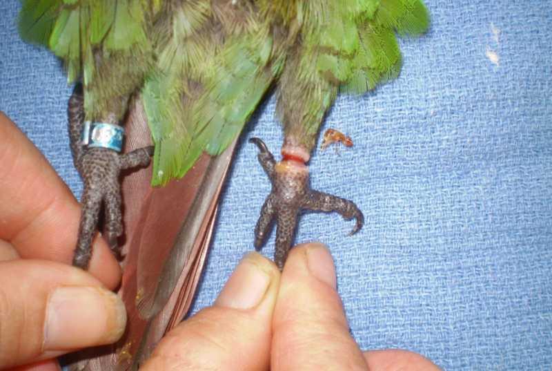 Proses Melepas Ring di Kaki Burung (currumbinvetservices.com)