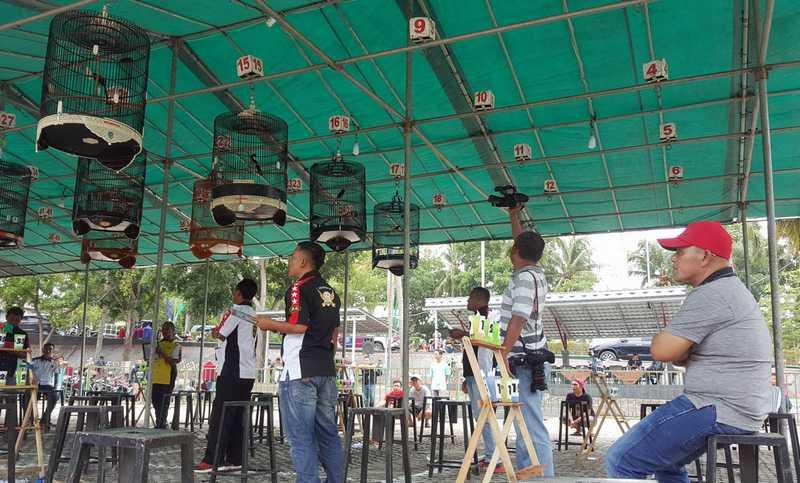 Setingan Murai Batu untuk Lomba (hanuang.com)