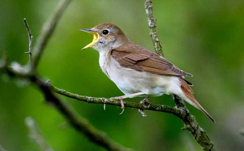 Suara Burung Ini Masuk Daftar Tangga Lagu Dunia