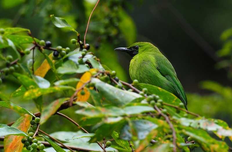 Burung Cucak Ijo Maskot Kabupaten Malang (hiveminer.com)
