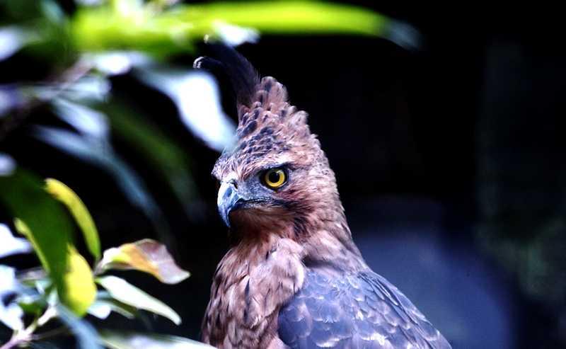 Burung Elang Jawa (marketeers.com)
