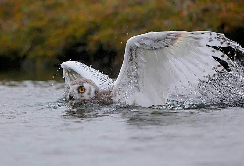 Burung Hantu Berenang (lazerhorse.org)
