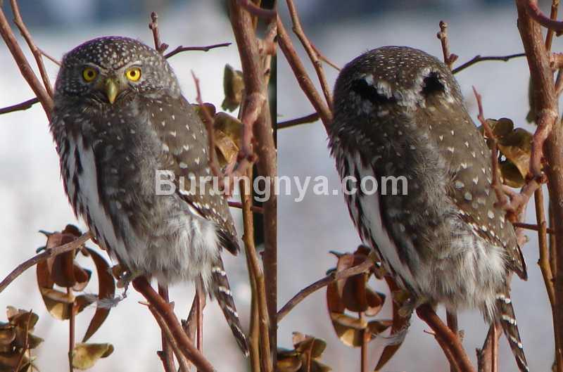 Burung Hantu Mata Palsu (birdcanada.com)