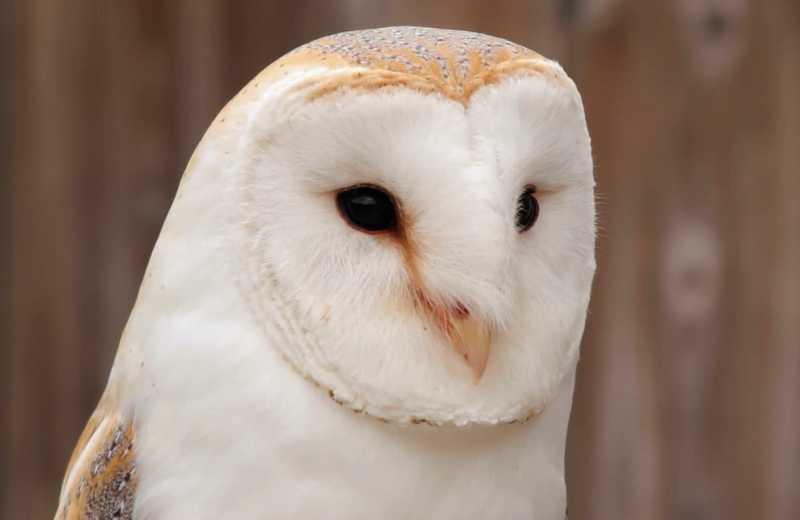 Burung Hantu Putih Tyto Alba (videoblocks.com)