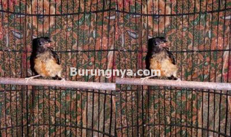 Burung Murai Batu Trotol Asli Hutan Marike Termahal di Indonesia (eksposnews.com)