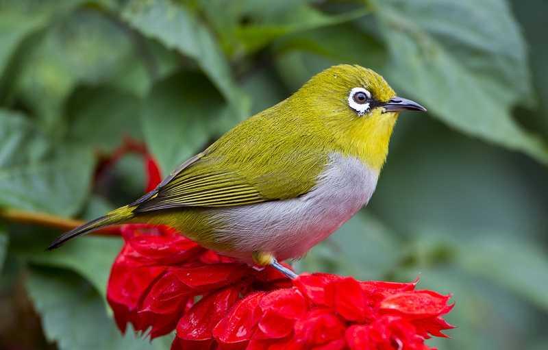 Burung Pleci dan Cendet Mulai Langka di Malang Akibat Perburuan Liar
