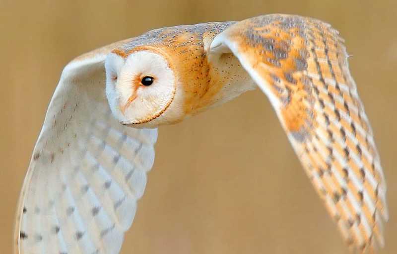 Burung Serak Jawa (justbirding.com)