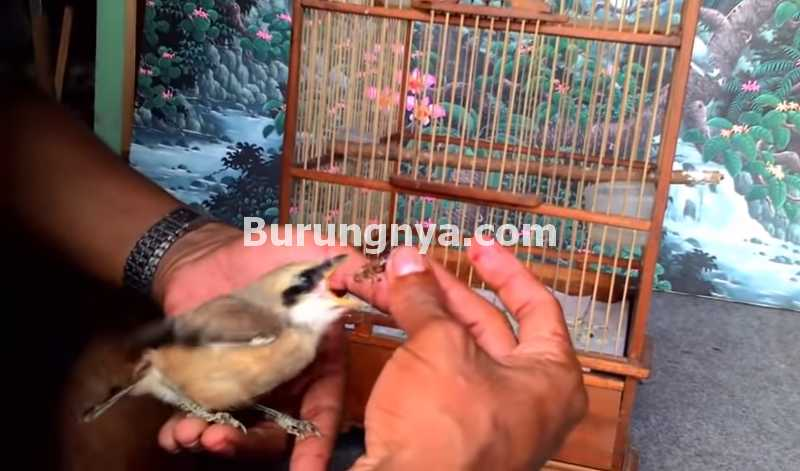 Cara Melatih Cendet Jinak (youtube.com)