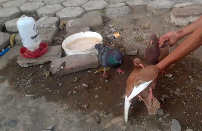 Cara Menambah Nafsu Makan Burung Merpati (kumayangjati.blogspot.com)