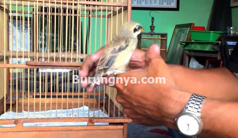 Cara Menjinakkan Burung Cendet (youtube.com)