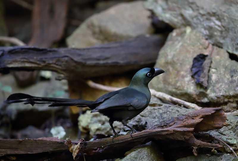 Gambar Burung Murai Papua atau Murai Irian (okkenhaugfoto.blogspot.com)