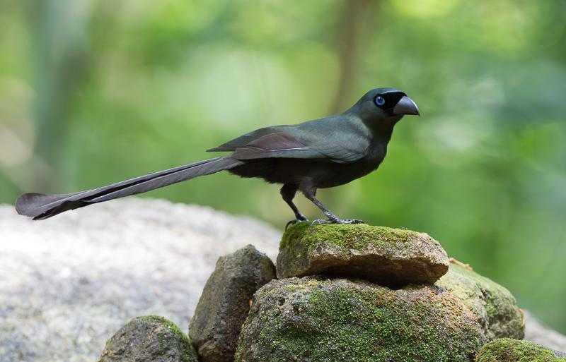 Gambar Murai Papua (hbw.com)
