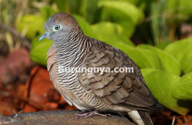 Keistimewaan Burung Perkutut Lokal Hutan (inaturalist.org)