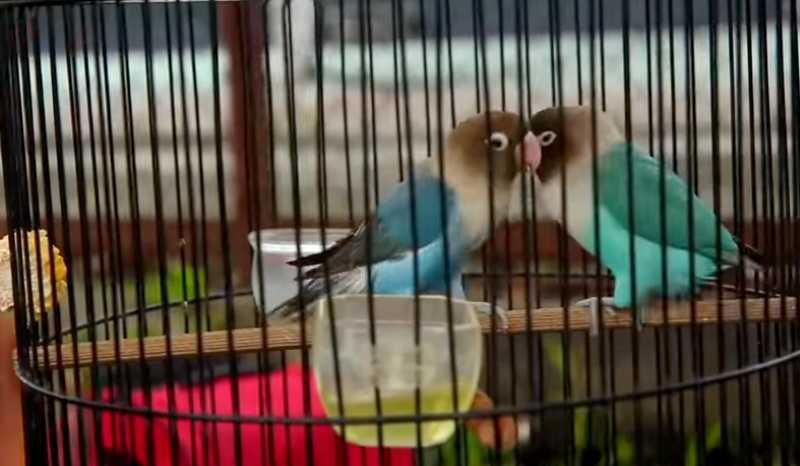 Lovebird Kabul tanpa ekor dan ngekek 1 menit ditawar Rp 150 juta (youtube.com)