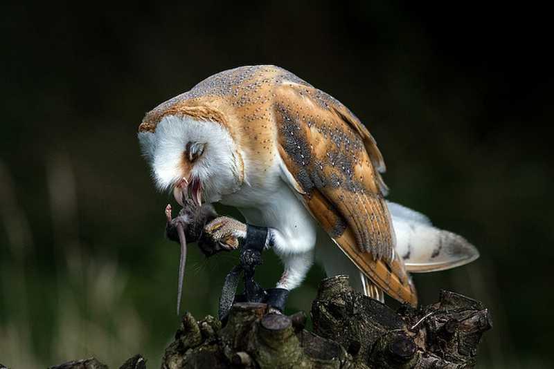 Makanan Burung Hantu adalah Tikus (socalwild.com)