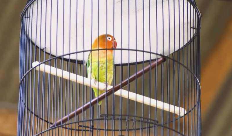 Setingan Lovebird Betina (youtube.com)