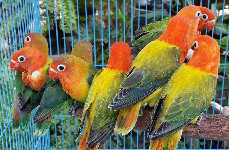 Ternak Lovebird Warna (busy.org)