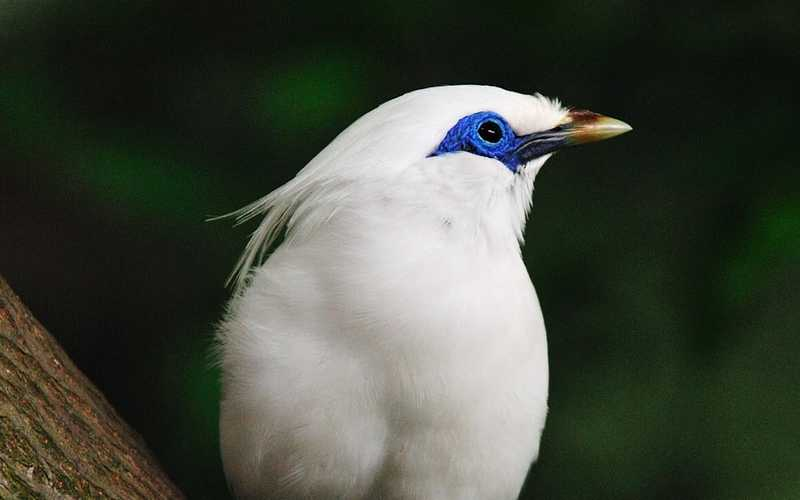 Burung Jalak Bali (earth.com)