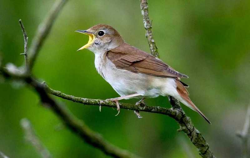10 Fakta Burung Sikatan Londo atau Nightingale yang Jarang Diketahui