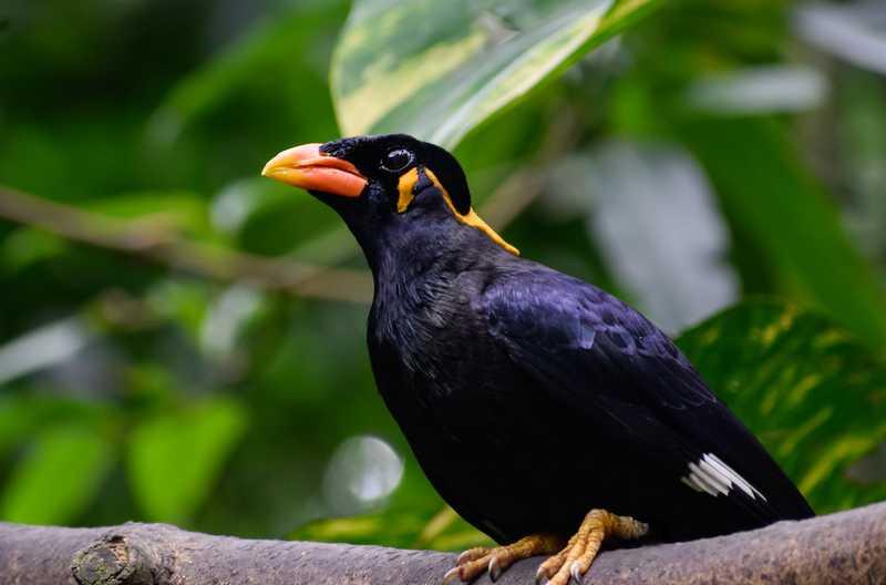 Cara Burung Beo Menirukan Suara Manusia (tomato.to)