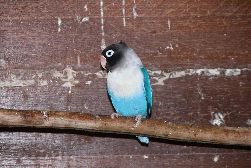 Cara Membuat Lovebird Balibu Memiliki Mental Fighter (parrot-bird.com)
