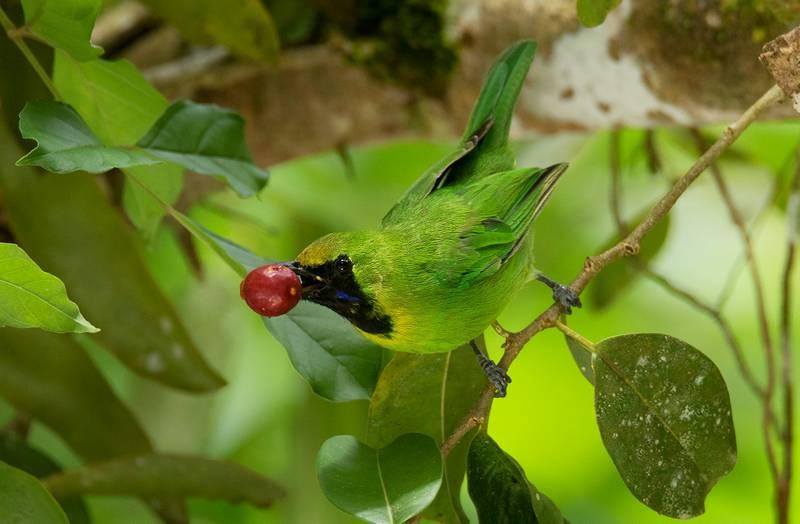 Cucak Ijo Mini Gacor Makan Anggrung (ebird.org)