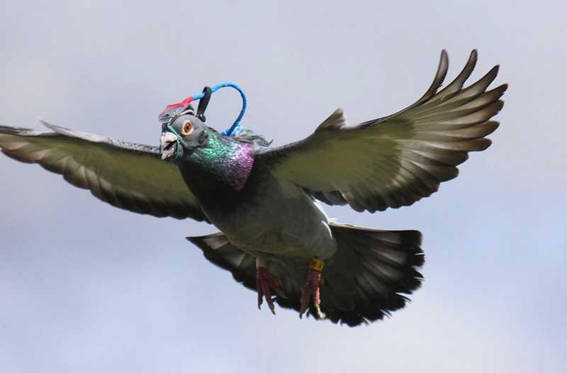 Fakta Burung Merpati yang Menakjubkan (biologists.org)