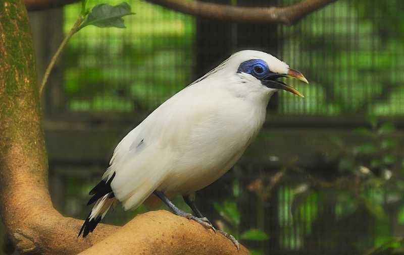 Habitat Jalak Bali (wikimedia.org)