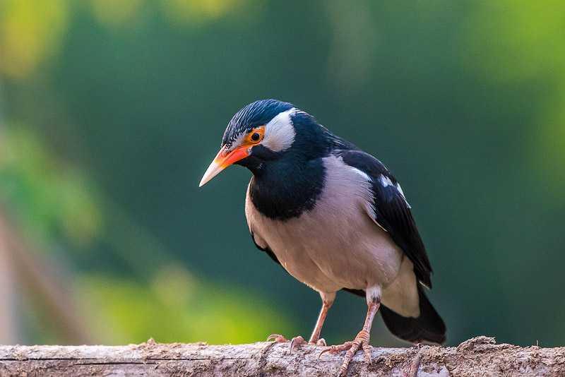 Harga Jalak Suren (naturestudysociety.org)