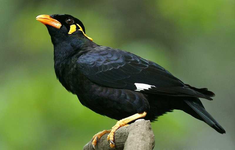 Jenis Burung Beo (pinterest.com)