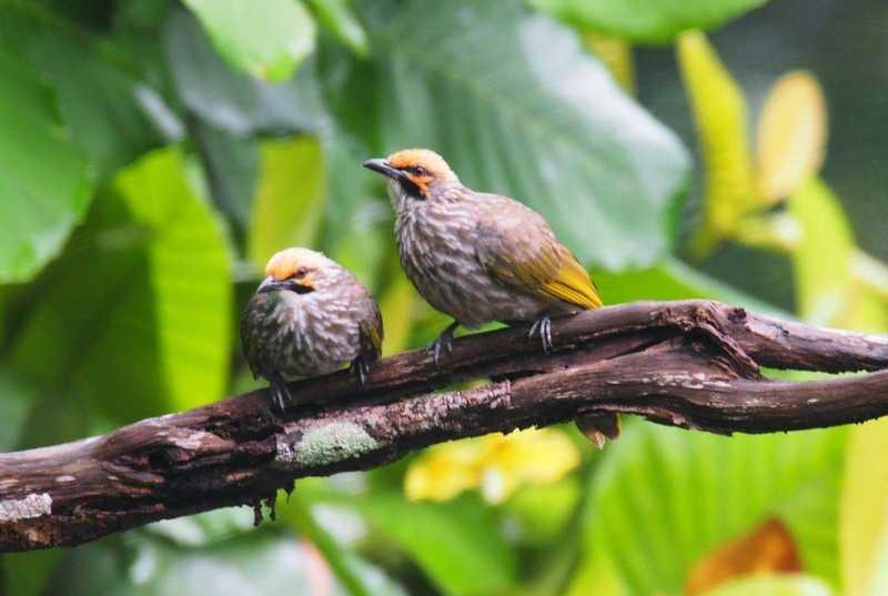 Jenis Burung Cucak Rowo di Hutan (flipscience.ph)