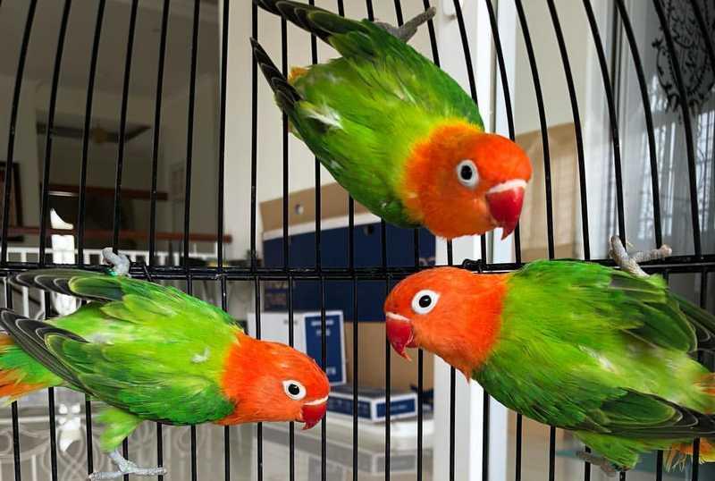 Jenis Mutasi Lovebird Biola (orenya.com)