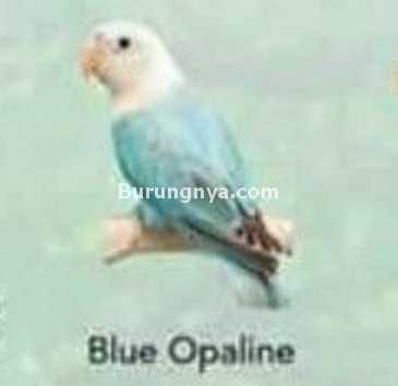 Lovebird Blue Opaline