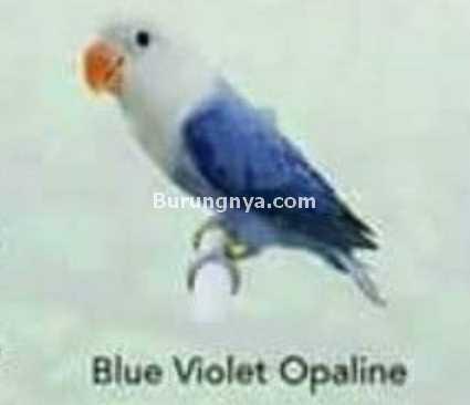 Lovebird Blue Violet Opaline
