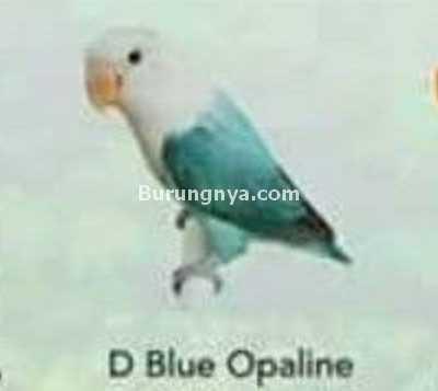 Lovebird D Blue Opaline