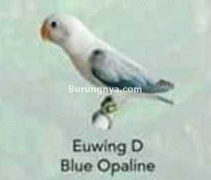Lovebird Euwing D Blue Opaline