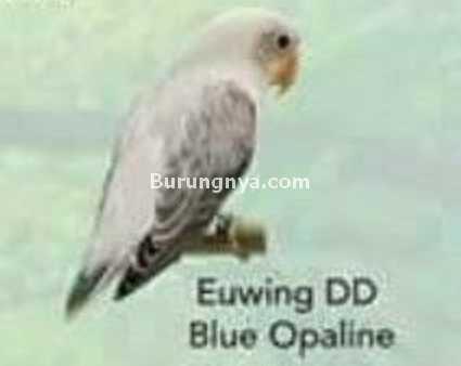 Lovebird Euwing DD Blue Opaline