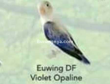 Lovebird Euwing DD Violet Opaline