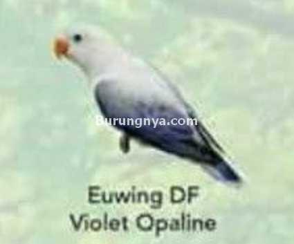Lovebird Euwing DF Violet Opaline