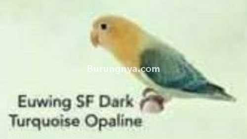 Lovebird Euwing SF Dark Turquoise Opaline