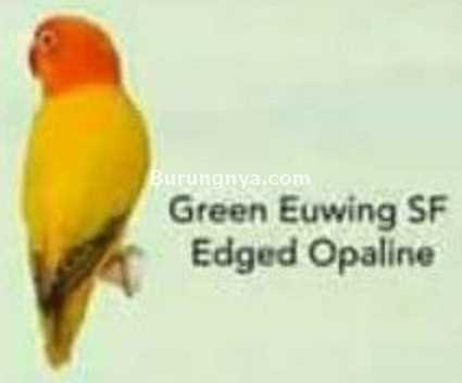 Lovebird Green Euwing SF Edged Opaline