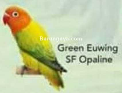 Lovebird Green Euwing SF Opaline