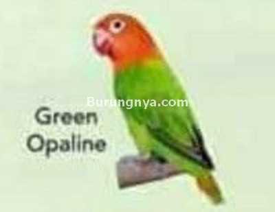 Lovebird Green Opaline