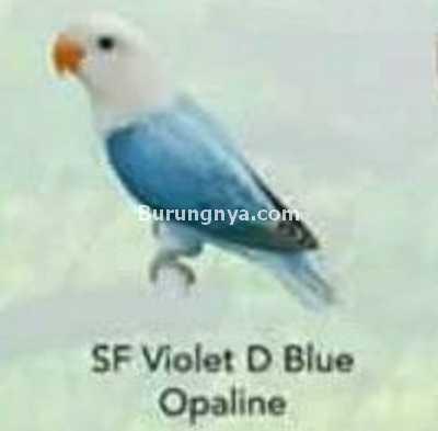 Lovebird SF Violet D Blue Opaline