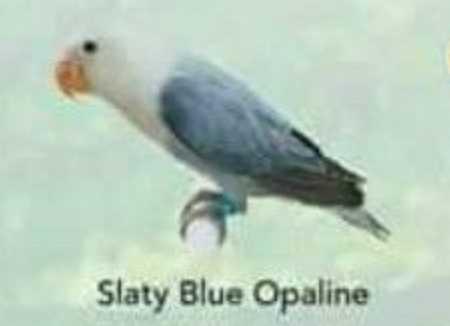 Lovebird Slaty Blue Opaline