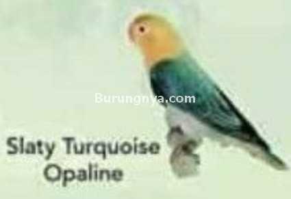 Lovebird Slaty Turquoise Opaline
