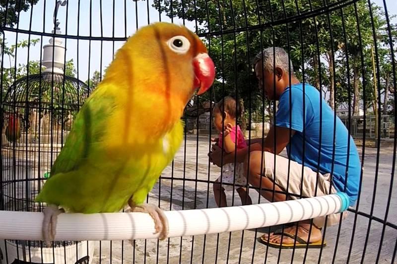 Lovebird Termahal di Indonesia (youtube.com)