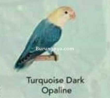 Lovebird Turquoise Dark Opaline